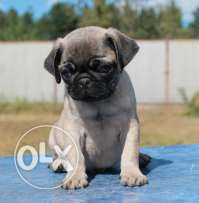 Imported Pug male puppy