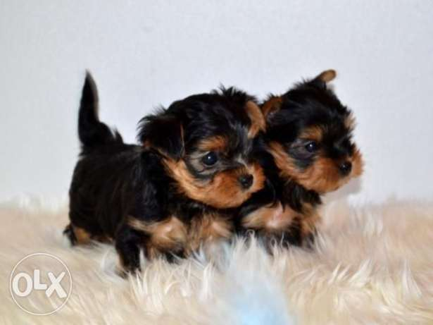 Imported TeaCup Yorkshire terrier puppies