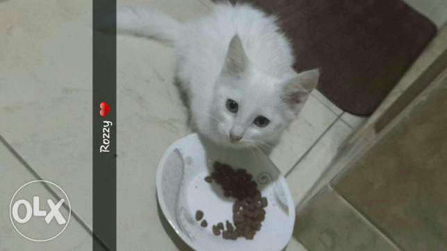 Turkish cat for sale