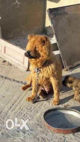 chowchow puppeis for sale