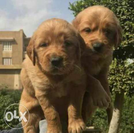 imported golden retriever pupps