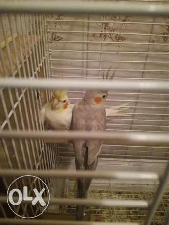 2 birds for sale