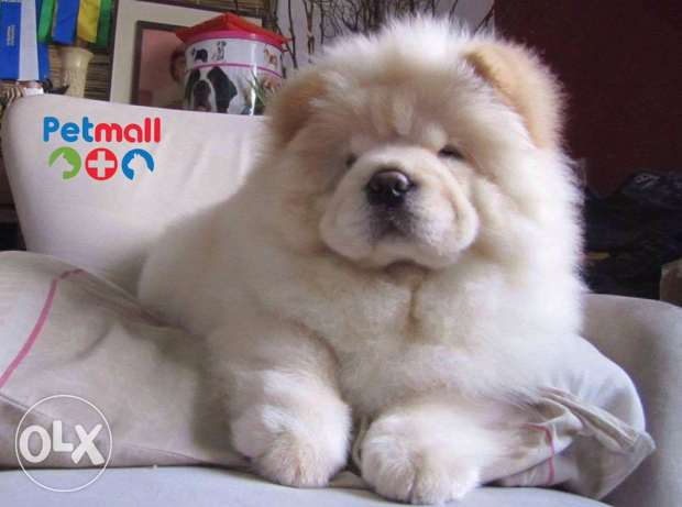 chowchow for sale