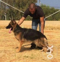 Top Gsd female for sale