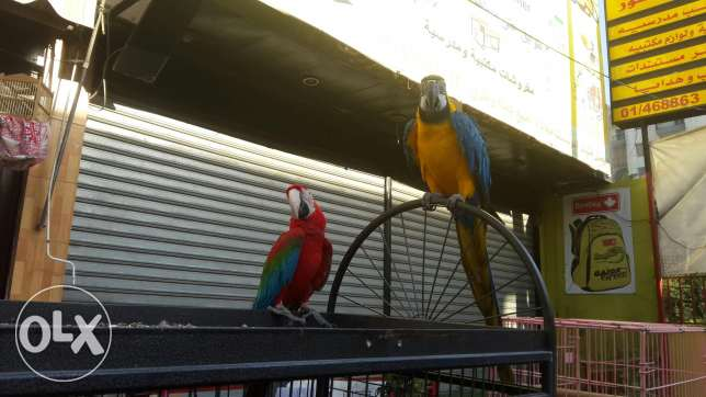 Blue macaw &red macaw for sale..golden bird