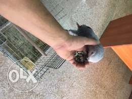 parrots african gray