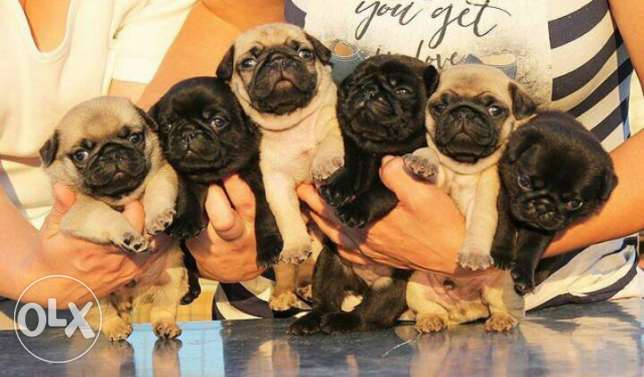 Puppies pug pedigree FCI