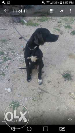 Pontier dog for sale age (5) month old year