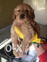 imported golden puppies