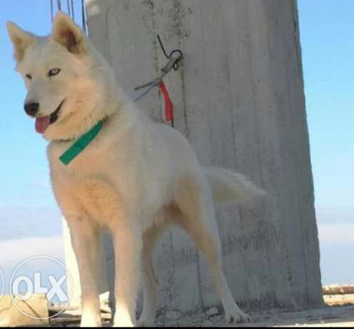 female huskey hebla