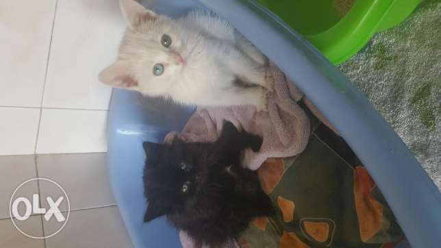 2little angora kittens