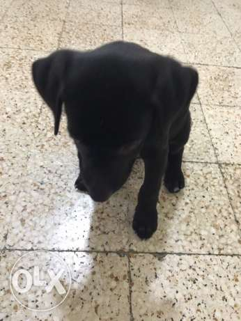 labrador for sale سن الفيل -  2