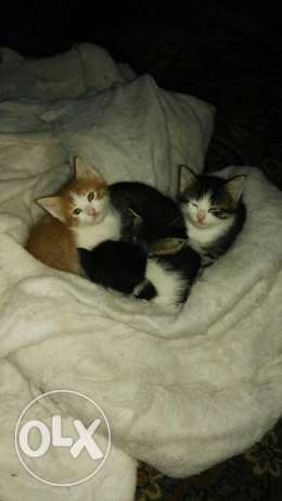Newborn Baby kittens for sale