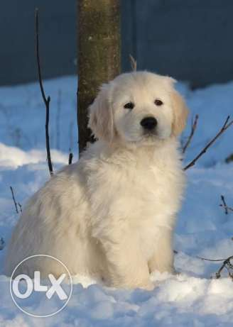 Champion Blood imported Golden Retriever puppies