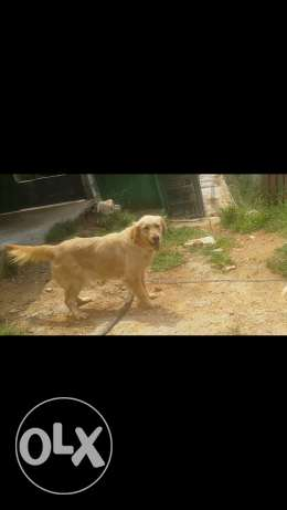 Female pure golden retreiver