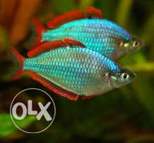 Dwarf rainbow fish (s.size)