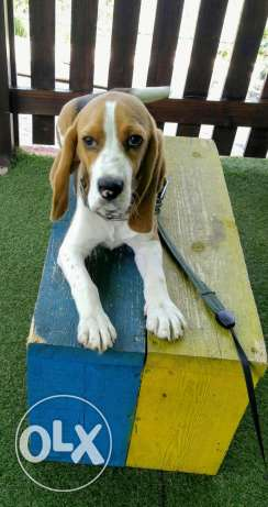 Male Beagle 6 months old, vaccinated,and trained .