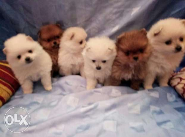 Puppies pomeranian المرفأ -  2