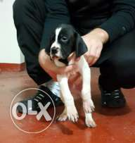 Original english pointer puppies for sale