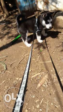 husky for sale aw trade 3a malinos z8eer