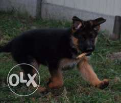 Show Quality Best German Shepherd Dog Female Puppy
