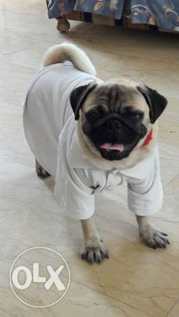 Male pug for sale 1 years