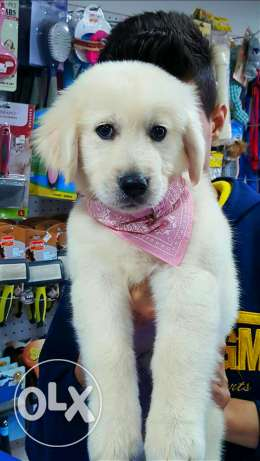 Puppies golden retriver