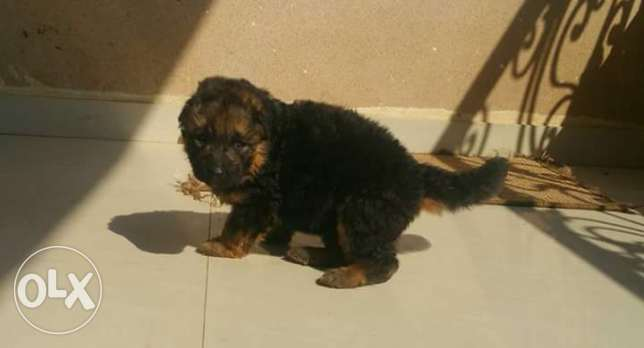 super imported german puppies for sale