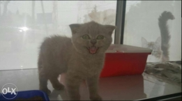 Imported Scottish fold kittens + offer in description