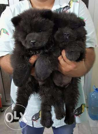 puppies chow chow