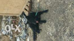 black gsd for sale