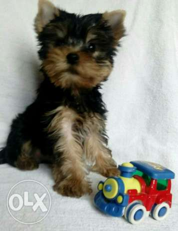 Imported Yorkshire Terrier