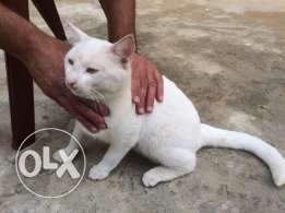 For sale 50000 lira libanon cat frensh farnciyee