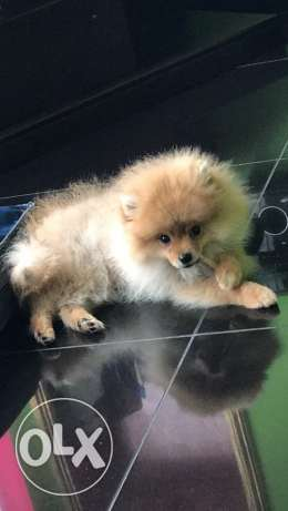 pomeranian teacup male