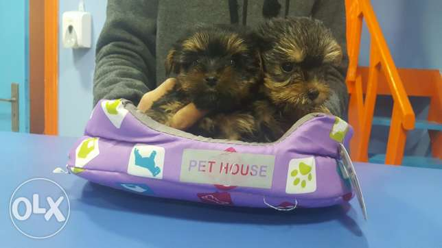 Tiny size yorkshire female and male puppy