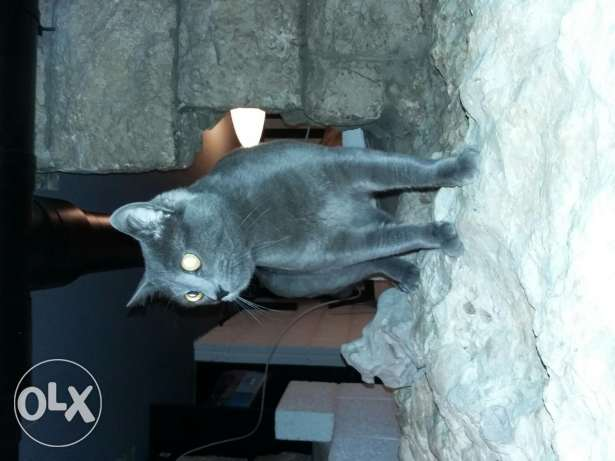 Russian blue cat kitten 9 month one of a kind