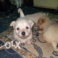 Bichon available