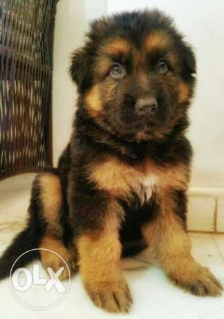 Pure giant size german shepherd for sale