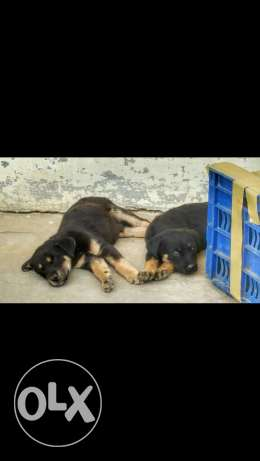 German Shepherd Puppies Bread