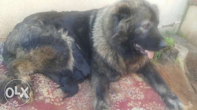 New born caucasian puppies for sale