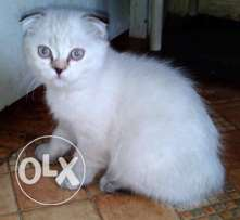 Color point Scottish fold