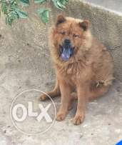 Chowchow male for sale