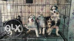 For sale husky puppies male:350 female:300