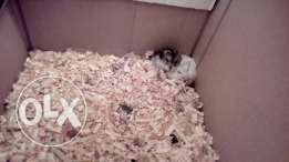 Russein hamster male and female