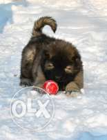 Caucasian ovcharka puppies for sale