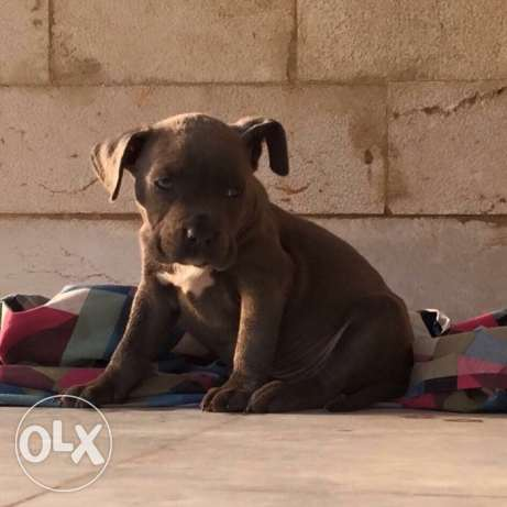Special price for pure American pitbull blue female