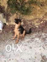 GSD pure breed showline 6 months old