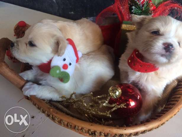 Loulou Spitz Puppies Ideal Gift for Christmas انطلياس -  7