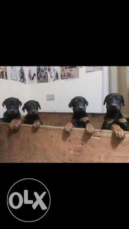 imported doberman puppies for sale