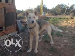 husky female 1 year old b 200$ bas